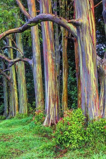 hawaii maui rainbow eucalyptus trees photographic print by terry