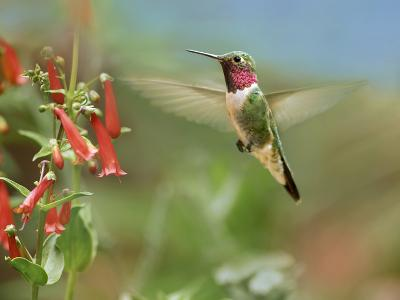 Male Broad-Tailed Hummingbird Hovers Flying