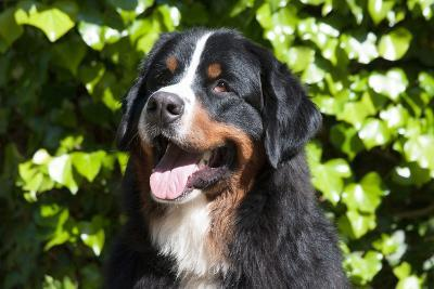 Bernese Mountain Dog at the Park