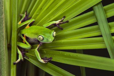 Agua Rica Leaf Frog, Ecuador