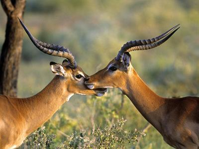 Two Impalas Standing Cheek to Cheek