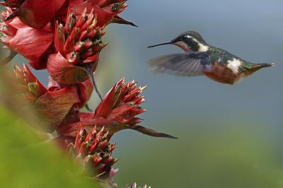 Purple-Throated Woodstar Hummingbird Flying to a Flower
