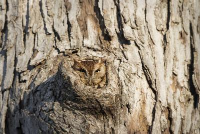Eastern Screech-Owl Red Phase, in Tree Cavity, Marion County, Il
