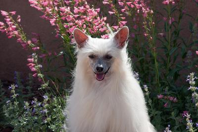 Chinese Crested Dog in a Garden