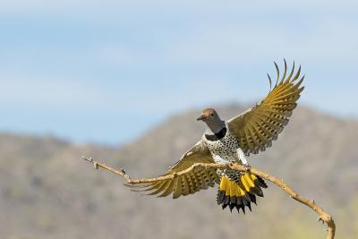 Arizona, Buckeye. Female Gilded Flicker Landing on Branch