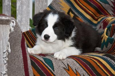 Border Collie Puppy Lying on Blankets
