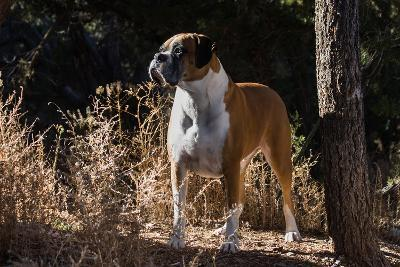 Boxer Standing in Tall Dried Grasses