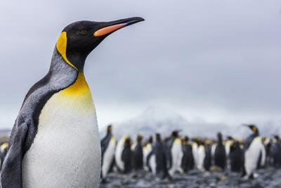 South Georgia Island, Salisbury Plains. Close-Up of King Penguin