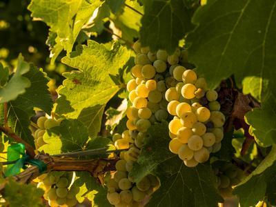 Washington State, Yakima Valley. Sauvignon Blanc Grapes
