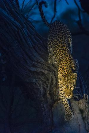 Botswana. Okavango Delta. Khwai Concession. Leopard Climbing Out of a Tree to Go Hunting