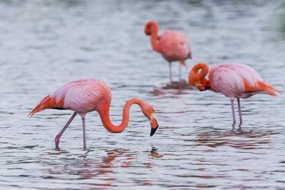 Ecuador, Galapagos Islands, Floreana, Punta Cormoran, Greater Flamingo Feeding