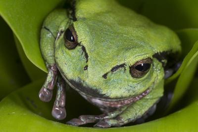 Andean Marsupial Tree Frog, Ecuador