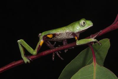 Agua Rica Leaf Frog, Amazon, Ecuador