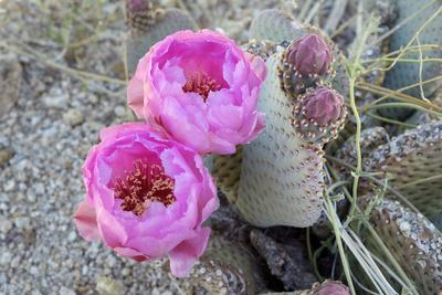 California, Joshua Tree National Park. Prickly Pear Cactus Bloom