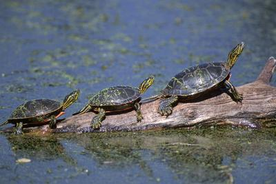 Western Painted Turtle, Two Sunning Themselves on a Log, National Bison Range, Montana, Usa