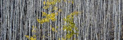 Utah, Mostly Bare Aspen Trees on Boulder Mountain