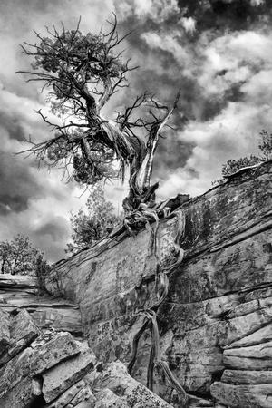 Utah. Black and White Image of Desert Juniper Tree Growing Out of a Canyon Wall, Cedar Mesa