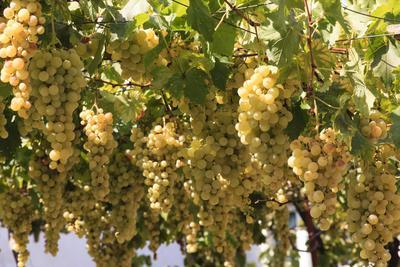 Macedonia, Ohrid and Lake Ohrid, House with Patio of Grape Vines and Grapes Ready to Harvest