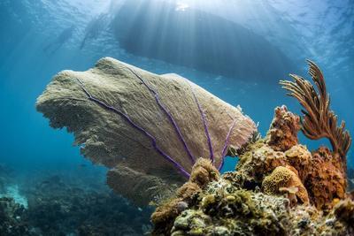 Purple Sea Fan Soft Coral , the Background, Cuba