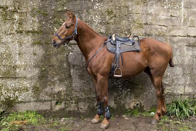 Italy, Sardinia, Santu Lussurgiu. a Horse Waiting for it's Rider at the Carrela E Nanti Festival