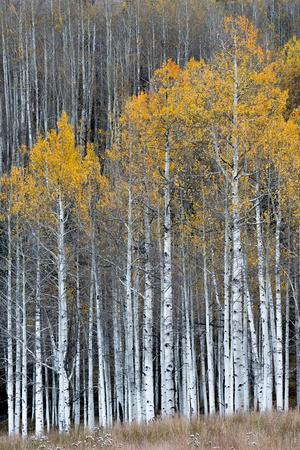 Colorado. a Stand of Autumn Yellow Aspen in the Uncompahgre National Forest
