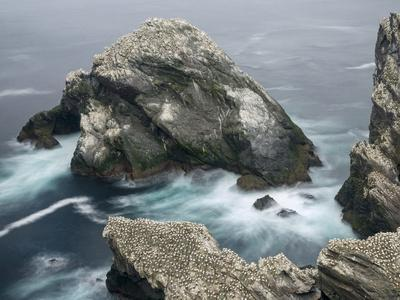 Hermaness National Nature Reserve on Island Unst. Hermaness Reserve with Colony of Northern Gannet