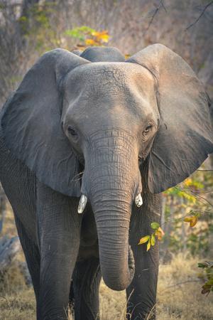 Botswana. Chobe National Park. Elephant