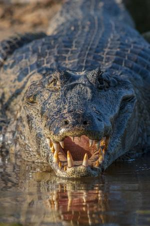 South America, Brazil, Cuiaba River, Pantanal Wetlands, Yacare Caiman with Open Mouth
