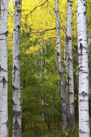 Autumn Birches, Sieur De Monts Spring, Acadia National Park, Maine, Usa