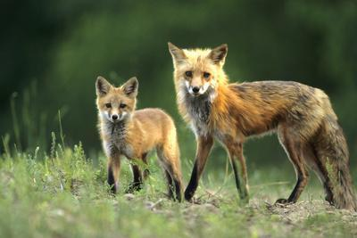 Red Fox Adult with Kit, Illinois