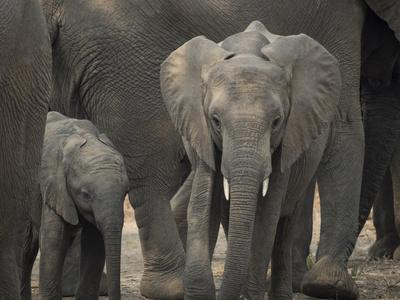 Africa, Zambia. Elephant Adults and Young