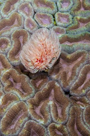 Indonesia, West Papua, Raja Ampat. Feather Duster Worm on Coral