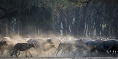 Africa, Zambia. Herd of Cape Buffaloes Running