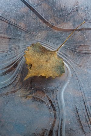 Utah, Natural Bridges National Monument. Leaf with Frozen Ice Pattern