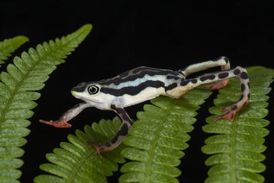 Elegant Harlequin Frog, Choco Region, Ecuador