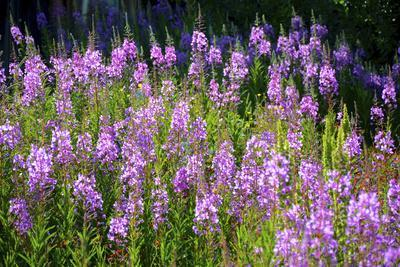 Fireweed Blooms in Late Summer in the Mountain Regions