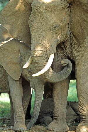 Mother African Elephant Protecting Two Babies