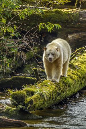 Canada, British Columbia, Inside Passage. White Spirit Bear Hunts for Fish on Riordan Creek