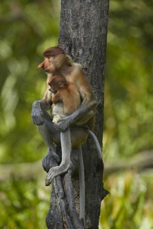 Proboscis Monkey with Baby, Sabah, Malaysia