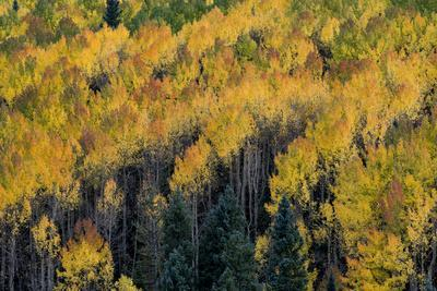 Colorado. Autumn Yellow Aspen, Fir Trees, Uncompahgre National Forest
