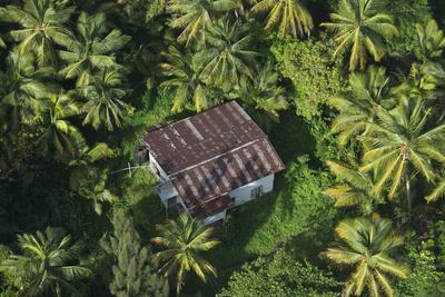 Coconut Palms, Georgetown Area, Guyana