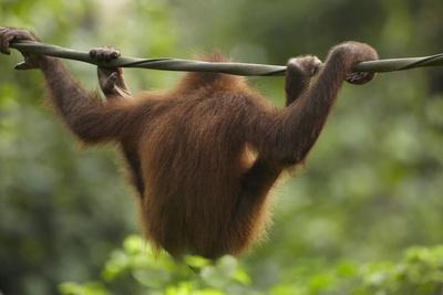 Baby Orangutan, Sabah, Malaysia