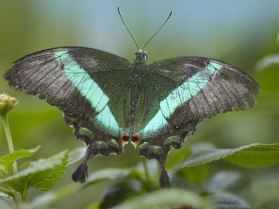 Emerald Swallowtail Butterfly, Philippines