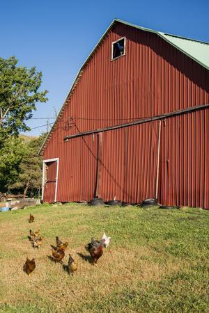 Washington State, Palouse, Whitman County. Pioneer Stock Farm, Chickens and Peacock in Barn Window