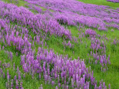 California, Meadow of Blooming Riverbank Lupine and Spring Grass in the Bald Hills