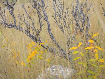 Utah, Wasatch Mountains. Sagebrush and Common Dogbane in Fall Meadow