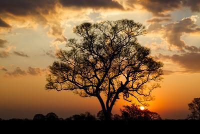 Brazil, Mato Grosso, the Pantanal. Pink Ipe Tree at Sunset