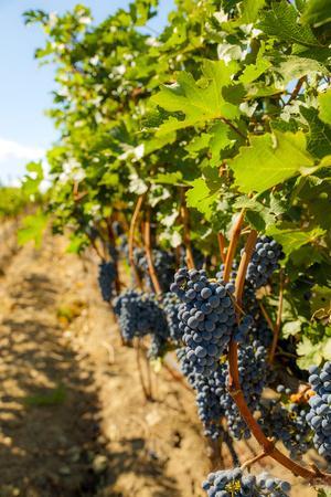 Washington State, Red Mountain. Vineyard Near Harvest