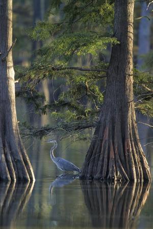 Great Blue Heron Fishing Near Cypress Trees, Horseshoe Lake State Park, Illinois
