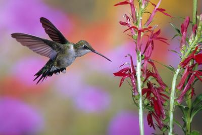 Ruby-Throated Hummingbird on Cardinal Flower, Marion County, Illinois